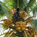 Coconut harvesting