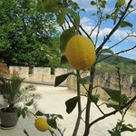 lemons from the tree on the patio