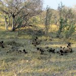 Wild Dog pack viewed on way to camp
