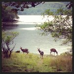 Deer on the island
