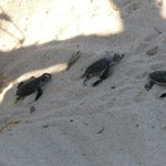 Baby turtles on their way to teh sea