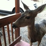 Deer almost knock on your front door!