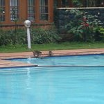 monkeys too swim in the hotel's swimming pool