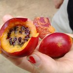 tree tomato Tamarillo