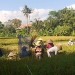 Farmers harvesting paddy in front of Jati Home Stay.