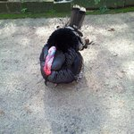 A Turkey at the Hinterland Village resort