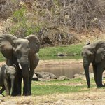 Elephants Visiting The River