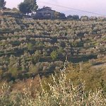 Rows and rows of olive trees