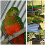 King Parrots visiting the Red Bower