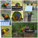Cheeky Lorikeets visiting the Red Bower