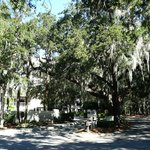 Spanish Moss on the tall Oak Trees