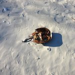 Horseshoe crab left on beach by tide