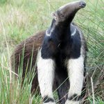 Giant Anteater seen on foot