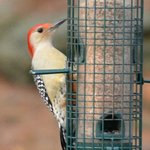 Red-Bellied Woodpecker at the bird-feeder