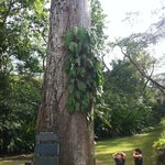 400 years old Ceiba tree