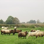 The Blue Texel Sheep