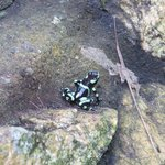 Poison dart frog by the dining room