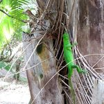 beautiful green iguana