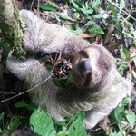 If you're lucky, you'll see a sloth! Usually a sighting once or twice a week. This guy was adora