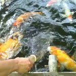 Feeding the koi fish in the pound