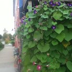 Morning glories to greet you every morning