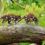 Endangered tiger quolls...very cool indeed!