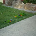Rosella's on the front lawn