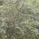Plum tree view from balcony