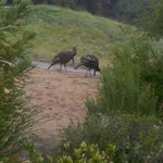 Two of the many wild turkeys on the property.