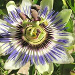 A passion flower in the garden at The Old School, Danby Wiske