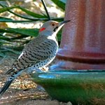 A Northern Flicker attracted by the birdbath