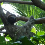 Sloth in tree located near parking lot.