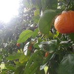 The orange grove (actually tangelos, but who's counting?)