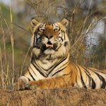 Royal Bengal Tiger at Kanha NP