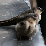Cave swifts on our windowsill