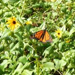 Butterflies add to the colors within the garden