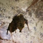Bat hanging above our heads!