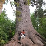 World's Largest Spruce Tree: it's wide! ;)