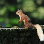 Red squirrel feeding in the grounds