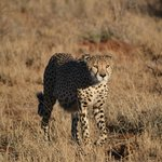 One of four cheetah brothers