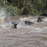 Wildebeest cross the river in their own way