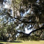 Spanish moss hanging from live oak in front of mansion