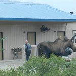 Moose in Parking Area