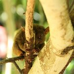 Tarsier (Inland day tour)
