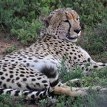 Cheetah full of hartebeest