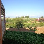View from room 8, olive trees and vineyards.