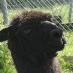 A nosey lama at petting zoo.