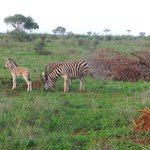 zebra babies on Bushwise safari