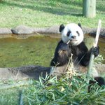 Panda at Memp Zoo