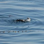 Sea otter (taken from our balcony)
